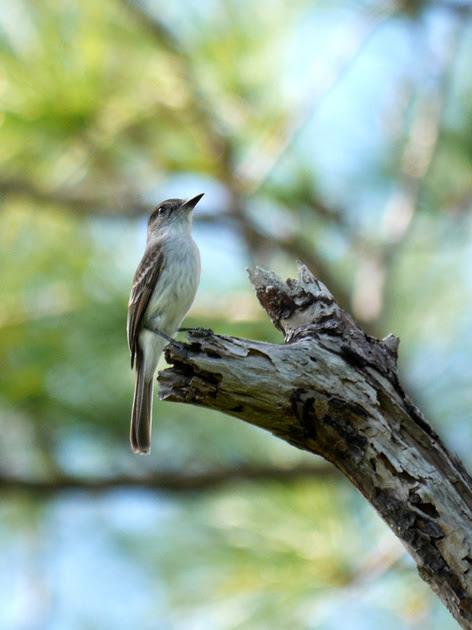 Ed Gaillard: birds &emdash; Loggerhead Kingbird, New Providence, Bahamas