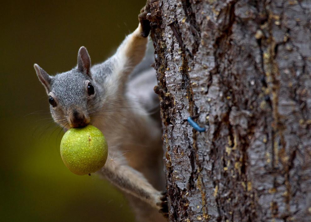 Белка с орехом во рту на юго-западе штата Орегон