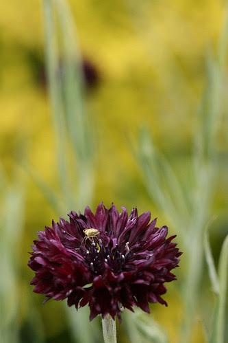 centaurea, bug and bokeh