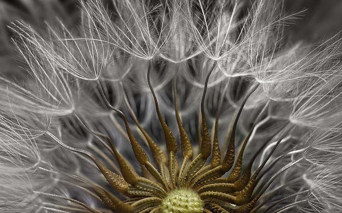 Cabeza de semilla de Senecio, Israel, 2º premio