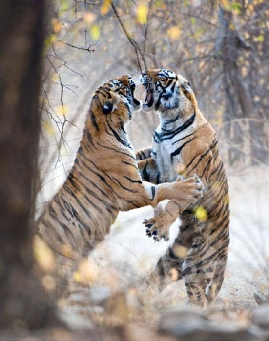 tiger (551x700, 122Kb)