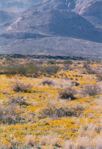 Poppies on Casner Range