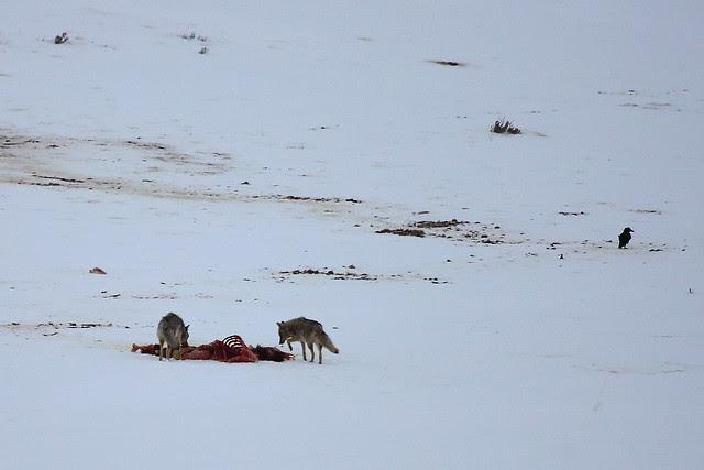 IMG_1084 Feeding on Elk Carcass