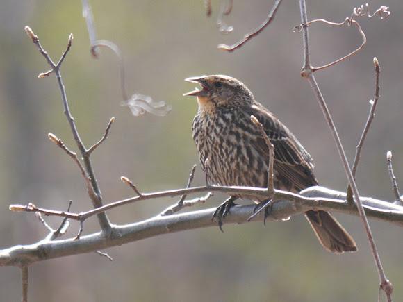 Ed Gaillard: birds &emdash; Female Red-Winged Blackbird calling, Van Cortlandt Park