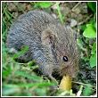 a field mouse, also known as a vole