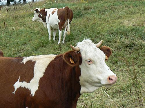 deux vaches.jpg