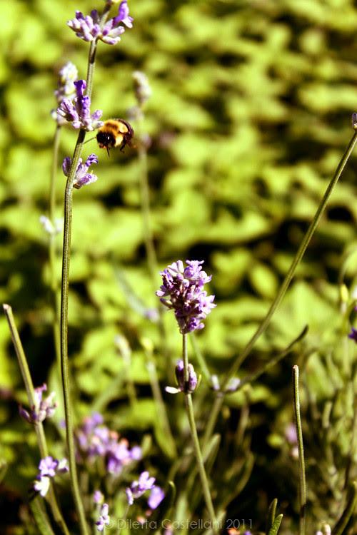 Lavander & A Bombo Bee