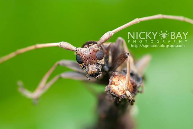 Mangrove Longhorn Beetle (Aeolesthes holosericeus) - DSC_0960