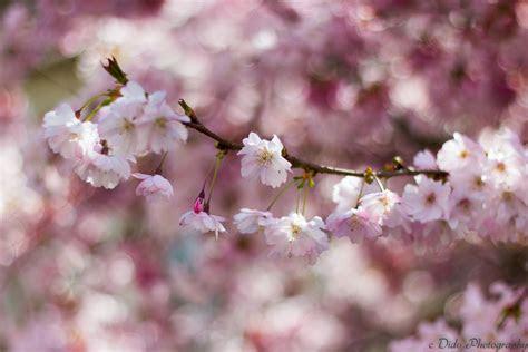 taustakuvat kukka vaaleanpunainen kirsikankukka kevaet