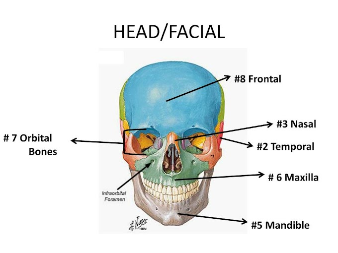 How Many Bones In The Face And Head / How Many Bones In The Face And Head - How Many Bones Brain And Faces Total - The total number of ... / The human skeleton is divided into two categories, such as, axial skeleton (head and trunk of the body) and appendicular skeleton (limbs and the.