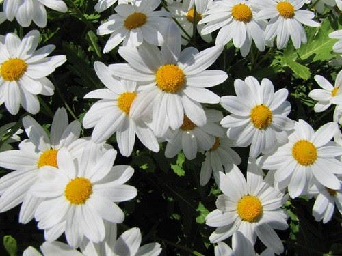 Foto 06-Estreleira (Argyranthemum pinnatifidum subsp. pinnatifidum)