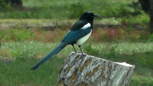 S1490004_Magpie_at_Rest_Area_Driving_from_Blanding_UT_to_Alamosa_CO