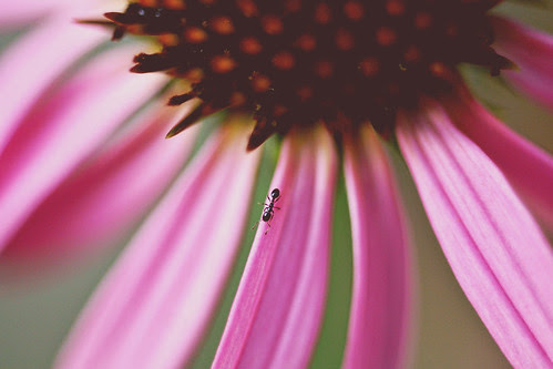 ant on echinacea