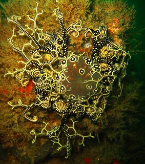 One of my favourite underwater creatures - a Basket Star (Astrocladus euryale)