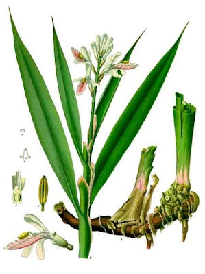 illustration of galangal from Wikimedia Commons