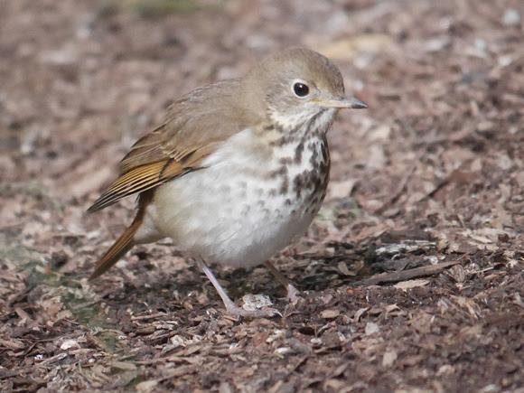 Ed Gaillard: birds &emdash; Hermit Thrush, International Paper Plaza