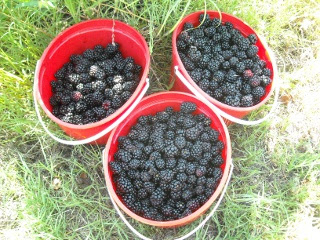Buckets of Picked Blackberries