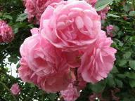 Rose Fragezeichen Foto Brandt