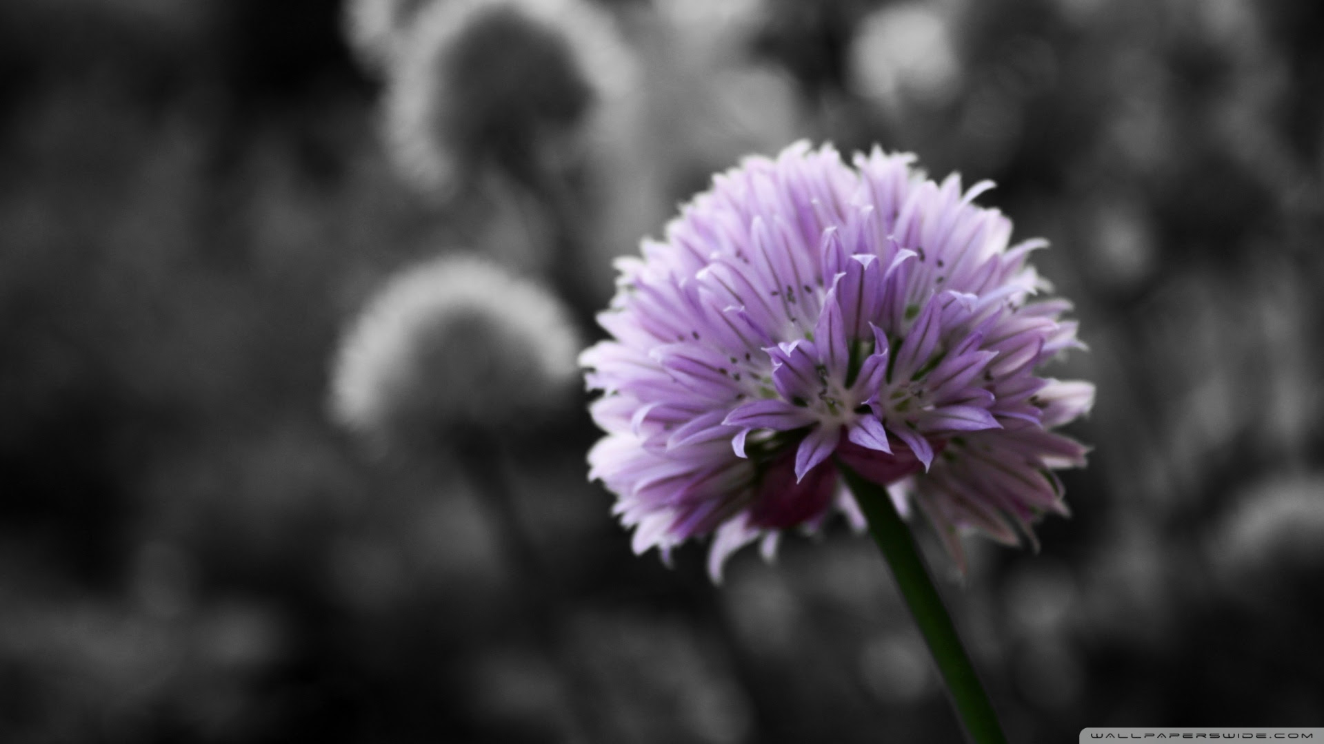 Black And White Flowers Wallpaper 1920x1080 51489