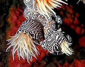 Striped colonial anemone.jpg