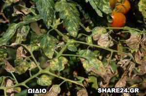 Ασθένειες Ντομάτας Ωίδιο