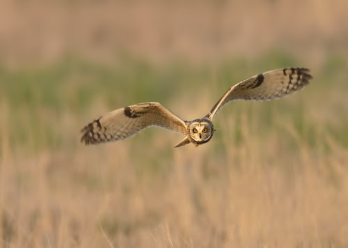Short Eared Owl - intensity by Andy Pritchard - Barrowford
