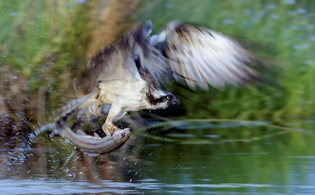 Week in Wildlife: This is the dramatic moment an osprey swooped down and snatched a trout
