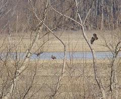 Three juv bald eagles