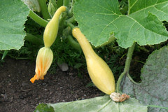 squash yellow crookneck