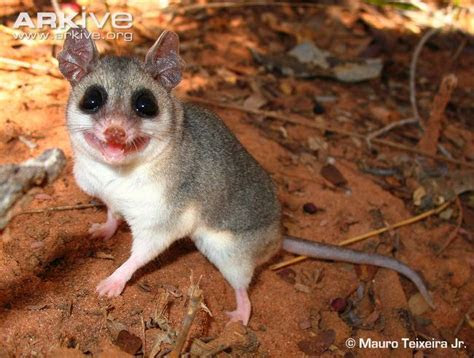 The cerrado mouse, Thalpomys cerradensis, is a rodent species from South America. It is found in