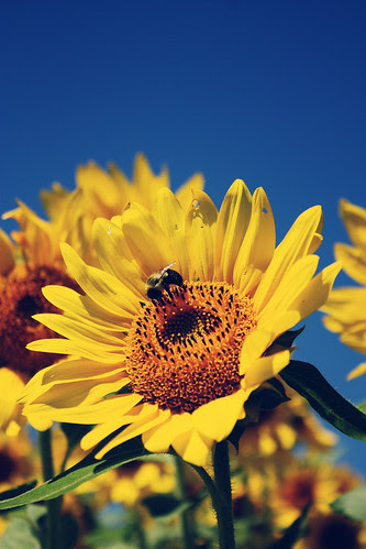 sunflowers at the farm