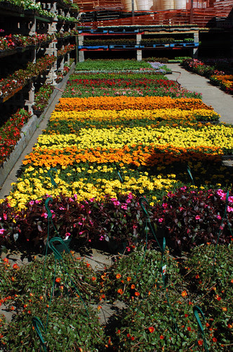 Flats and racks of annuals at Whitey Produce, Brooklyn Terminal Market