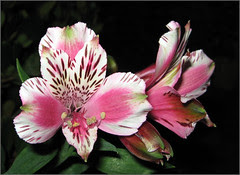 Pink and White Freesias