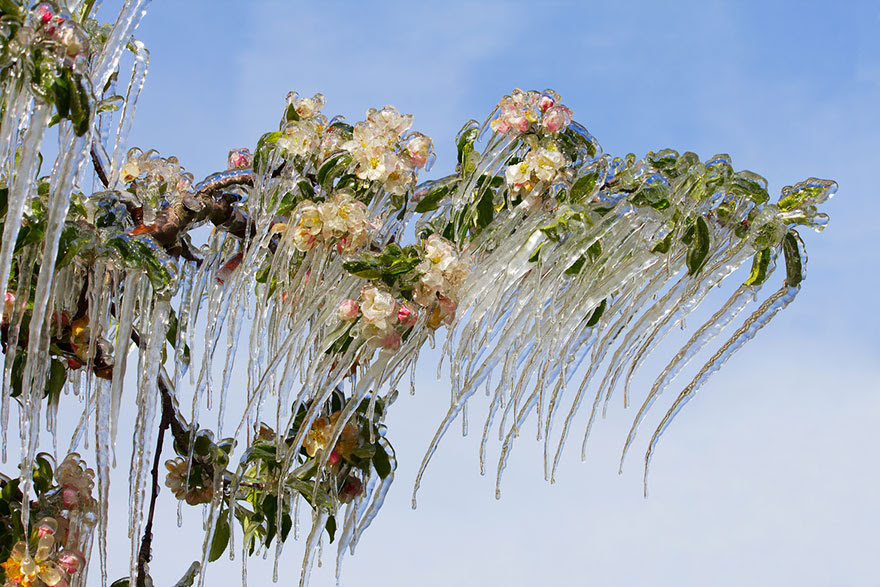 http://www.boredpanda.com/icicles-on-the-blooming-apple-tree/