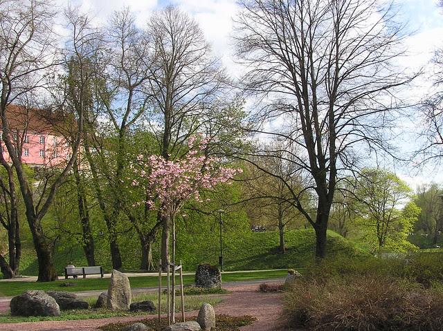 Cherry trees in Tallinn