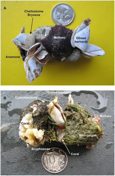 Ponces volcaniques habitées par des organismes
