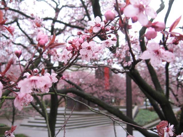 pink_dogwood