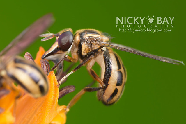 Hoverfly (Graptomyza sp.) - DSC_8311