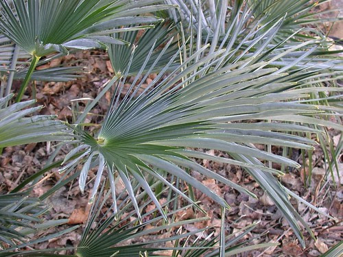 Frozen palm leaf