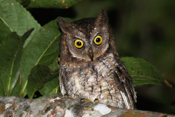 A new species of owl: Rinjani scops owl. Photo by: Philippe Verbelen.