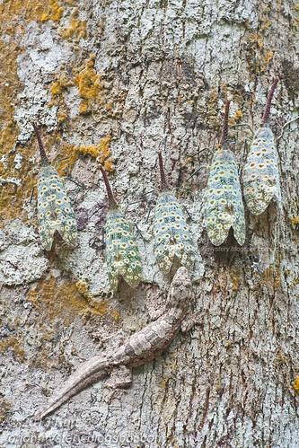 Pyrops oculata & Frilly Gecko IMG_2831 copy