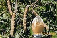 Cordyceps Sinensis Powder, Cordyceps Mycelium Powder---FD2051