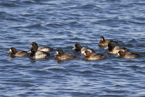 Greater & a Lesser Scaup