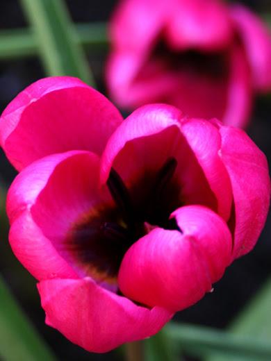 Tulipa humilis 'Violacea Black Base' 5 stk