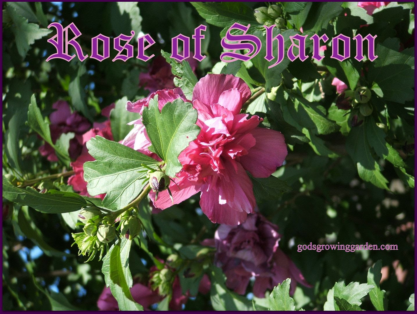 Rose of Sharon by Angie Ouellette-Tower for godsgrowinggarden.com photo 004_zpsdff6c2ee.jpg
