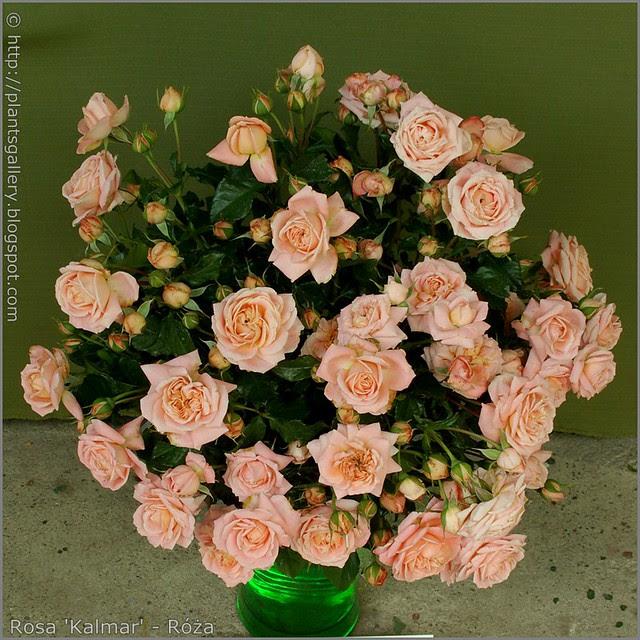 Rosa 'Kalmar' - Róża