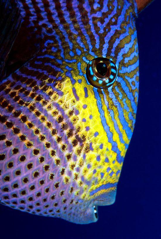 Black dragon triggerfish