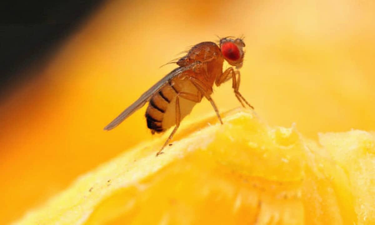 Image result for fruit flies eating