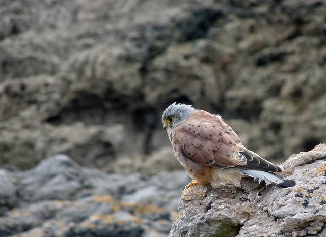 24972 - Kestrel, Oxwich Point