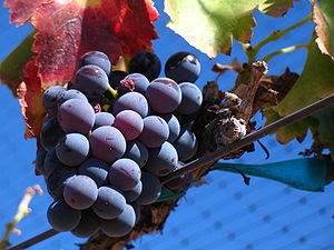 Grenache Grapes in Santa Barbara, California